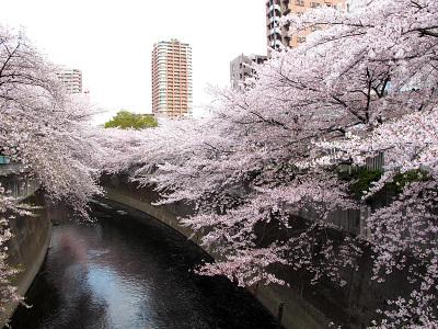 早稲田・神田川沿いの桜